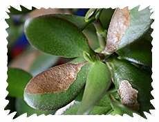 Растение забалело